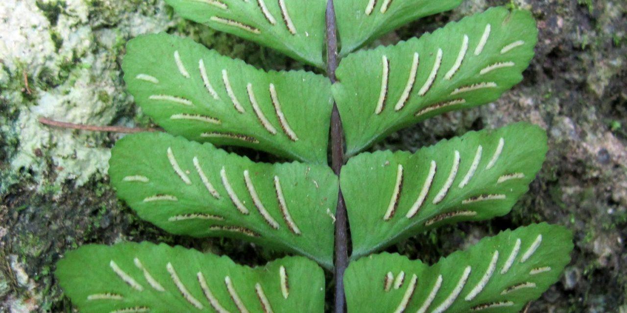Asplenium bradei