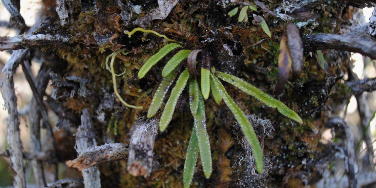 Oreogrammitis mollipila