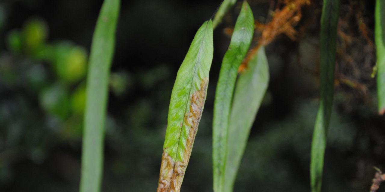 Oreogrammitis locellata