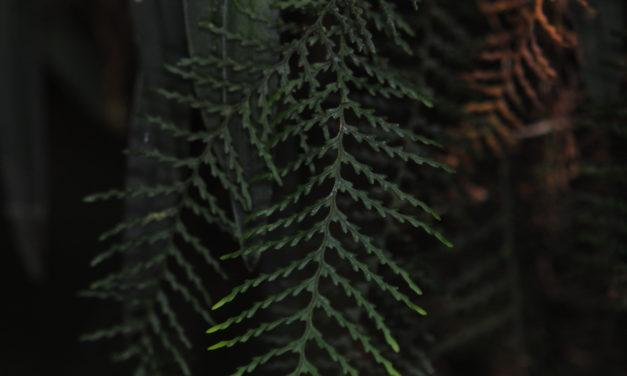 Tomophyllum bipinnatifidum