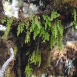 3695 Hymenophyllum ooides 9 (Hymenophyllum ooides)
