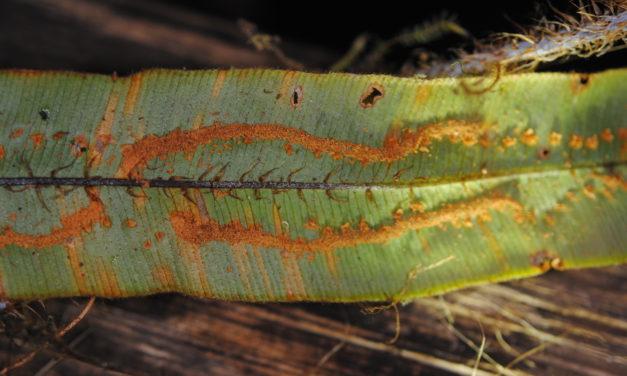 Oleandra sibaldii