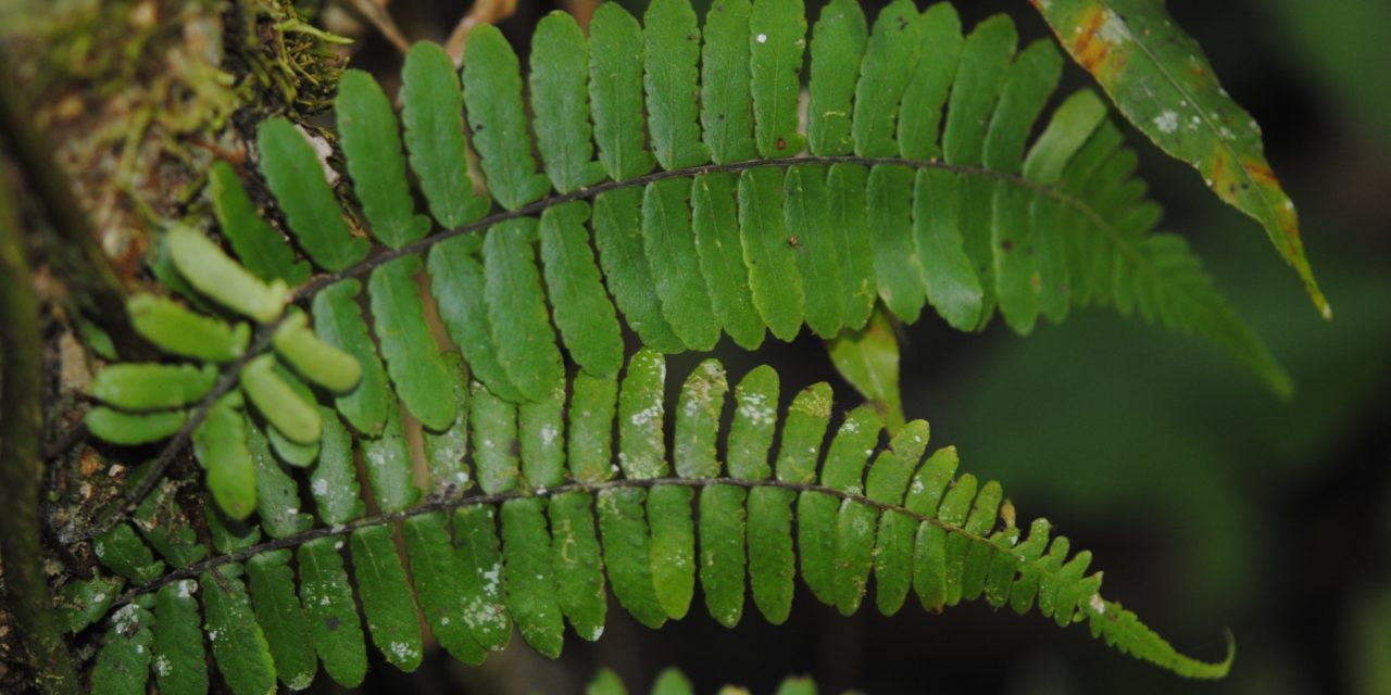 Arthropteris articulata