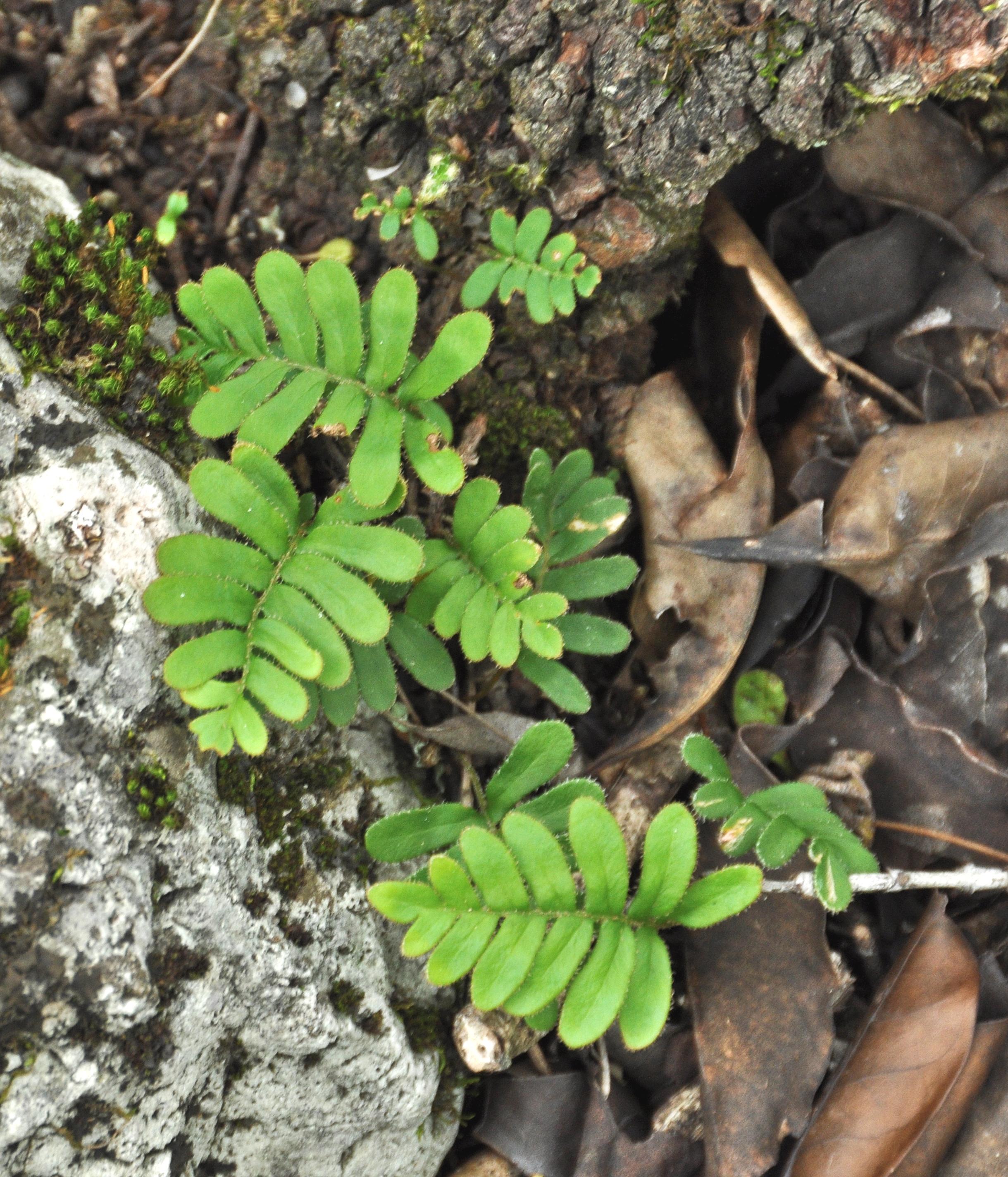 Pleopeltis polypodioides var. michauxiana