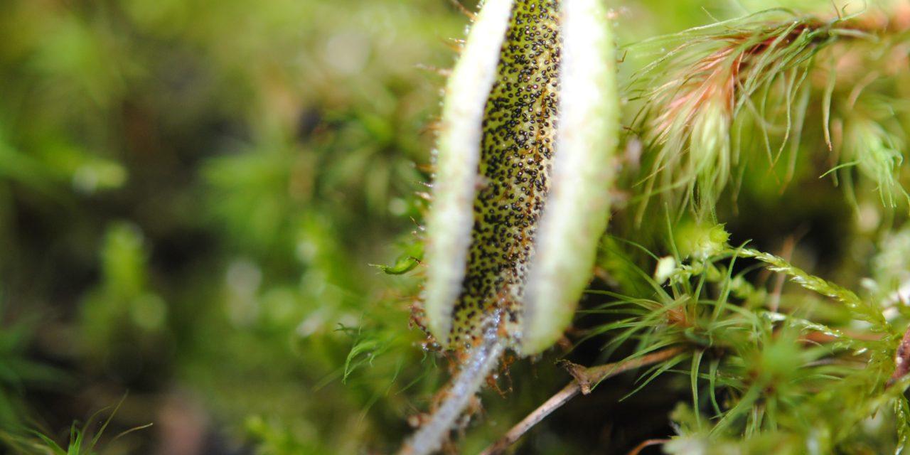 Elaphoglossum lindenii