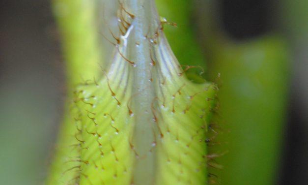 Elaphoglossum setigerum