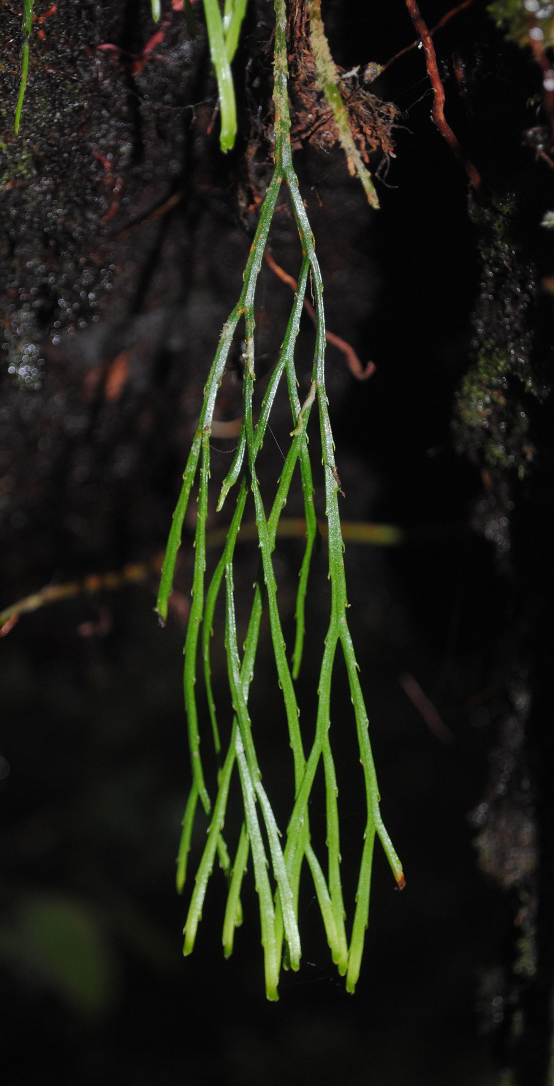 Psilotum complanatum