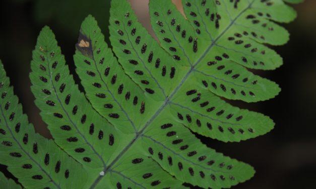 Gymnocarpium oyamense