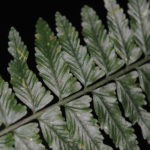 Asplenium tenerum
