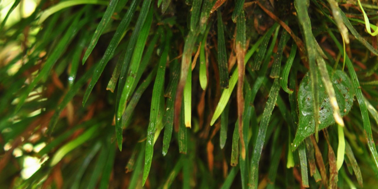 Haplopteris angustifolia