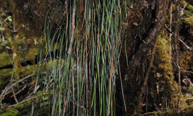 Haplopteris elongata