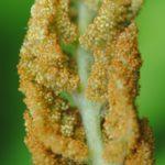 Osmundastrum cinnamomeum