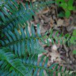 DSC_0029 (Polystichum acrostichoides)
