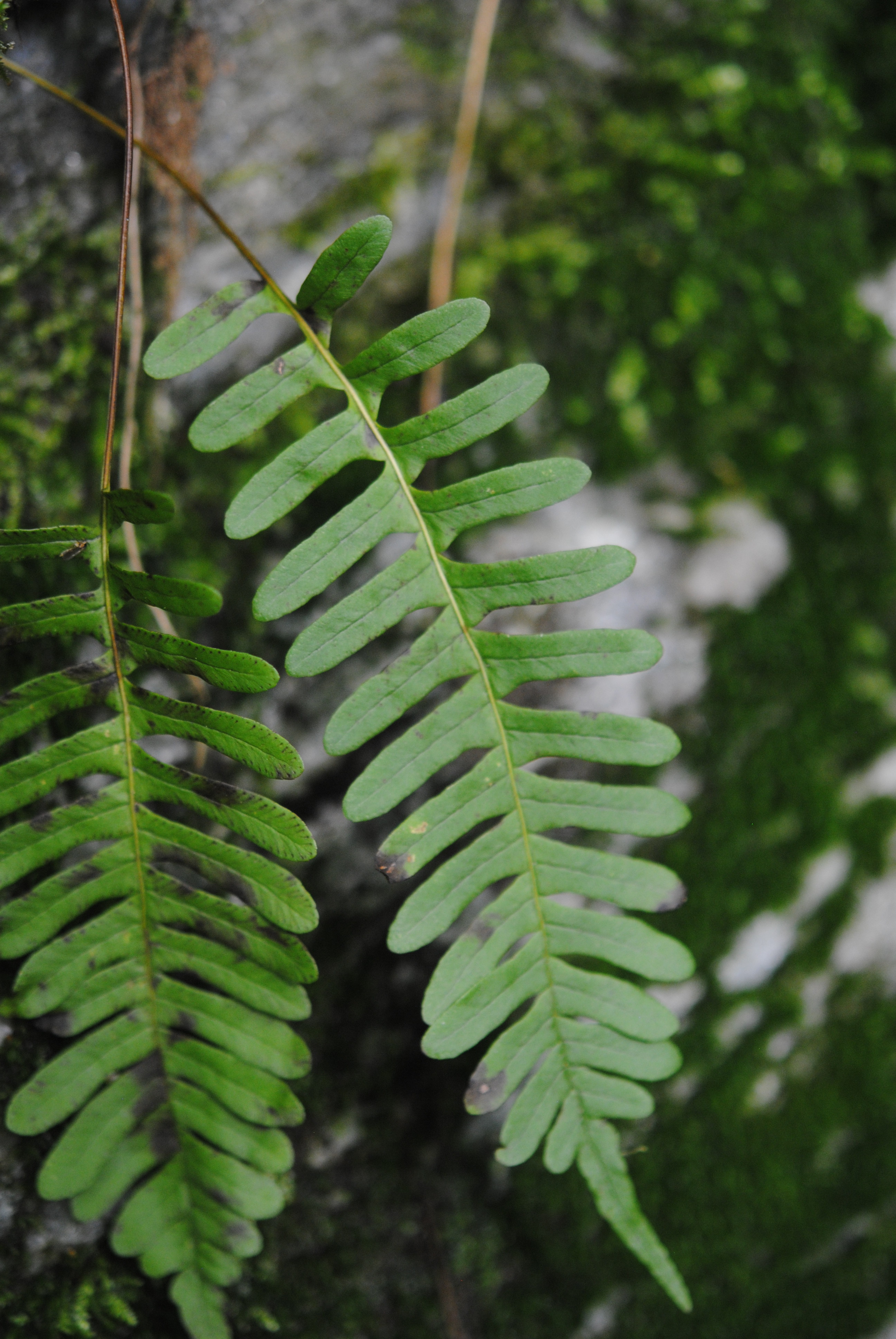 Polypodium virginianum