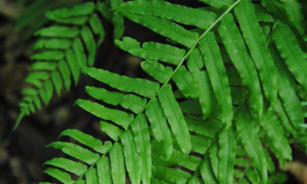 Homalosorus pycnocarpos