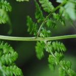 DSC_0964 (Dryopteris campyloptera)