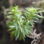 Hupterzia sp 1 _5 (Helminthostachys zeylandica)