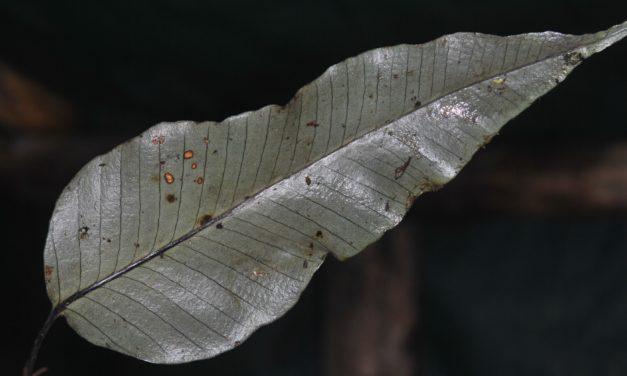 Selliguea plantaginea