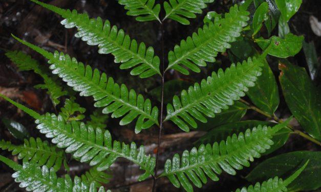 Pteris amoena subsp. firma