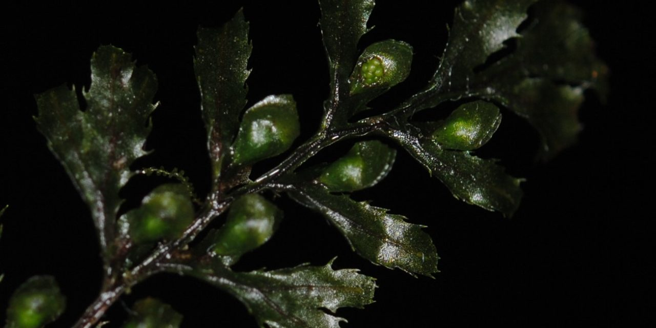 Hymenophyllum holochilum