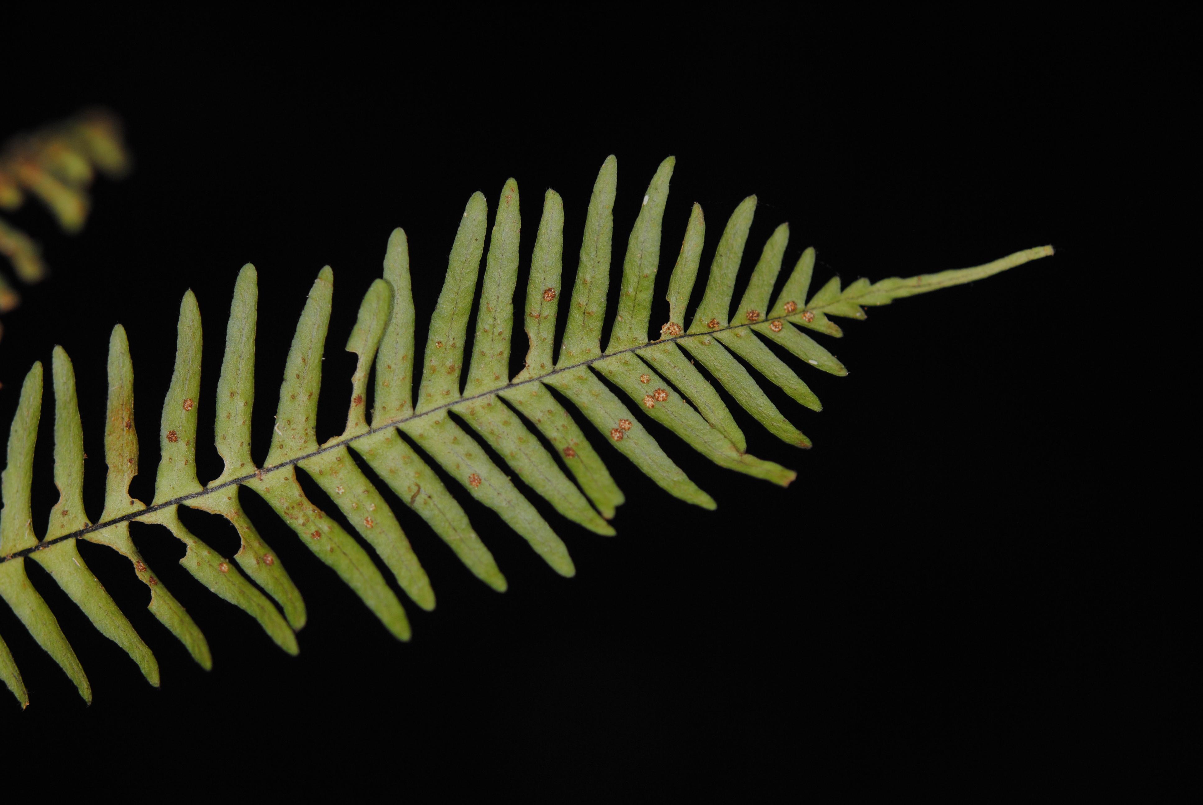 Oreogrammitis longiceps