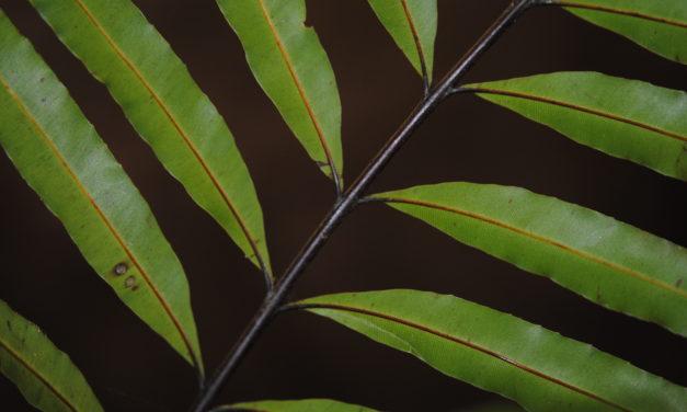 Pteris papuana