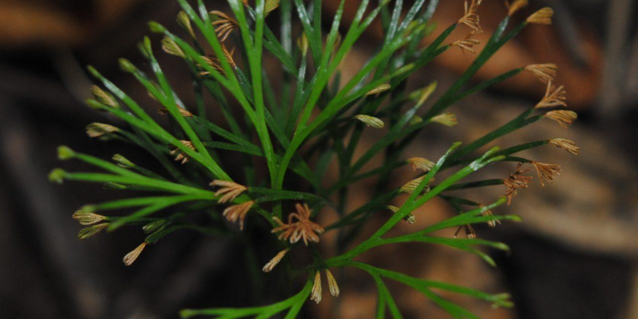 Schizaea dichotoma