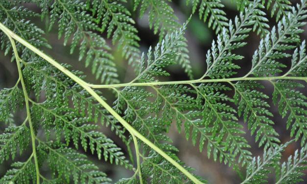 Orthiopteris cicutarioides