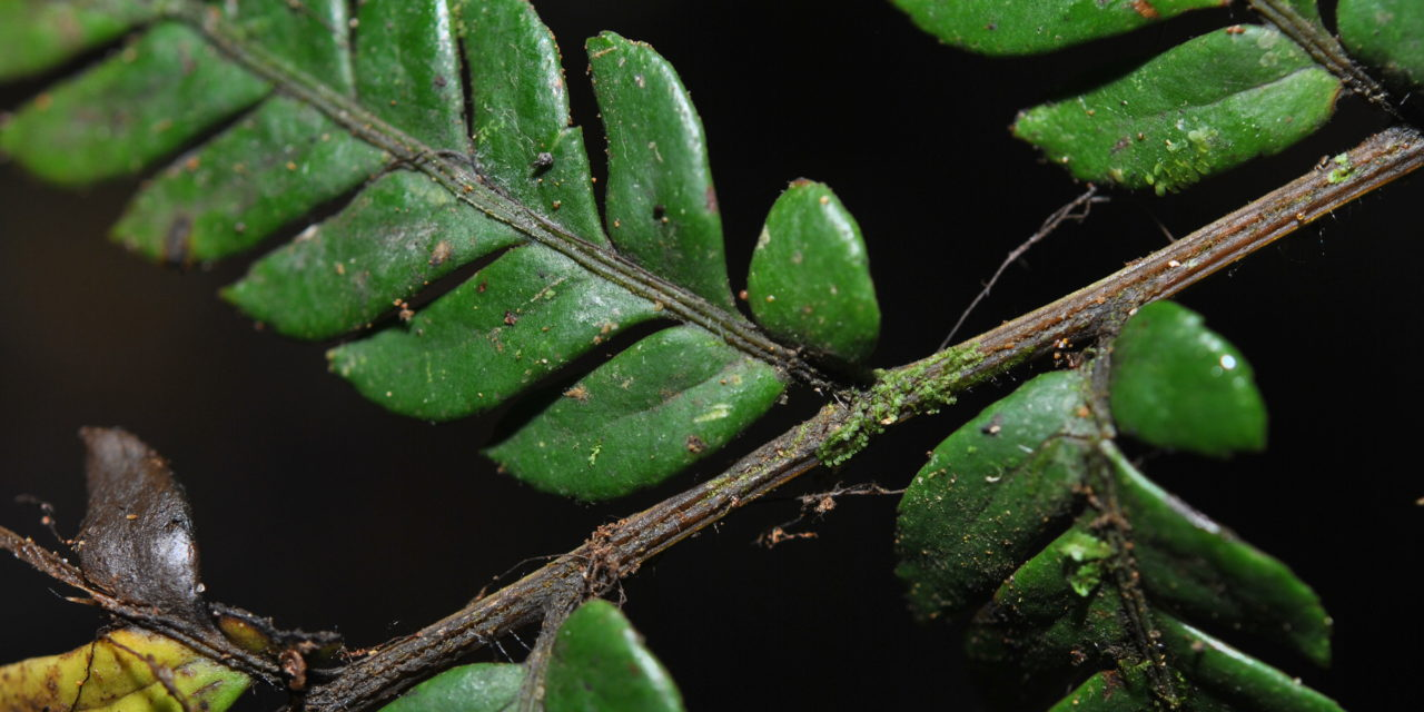 Dryopolystichum phaeostigma