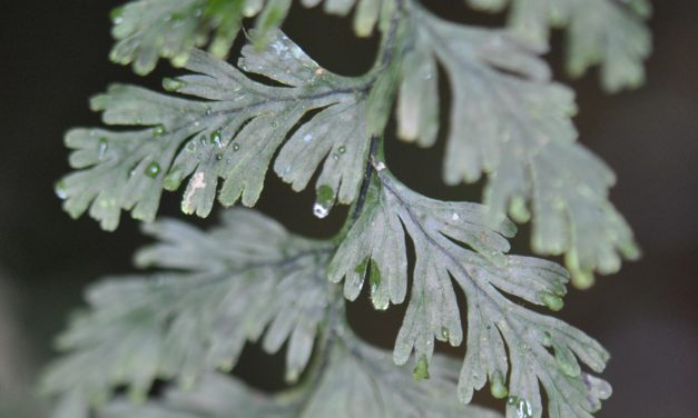 Hymenophyllum copelandii