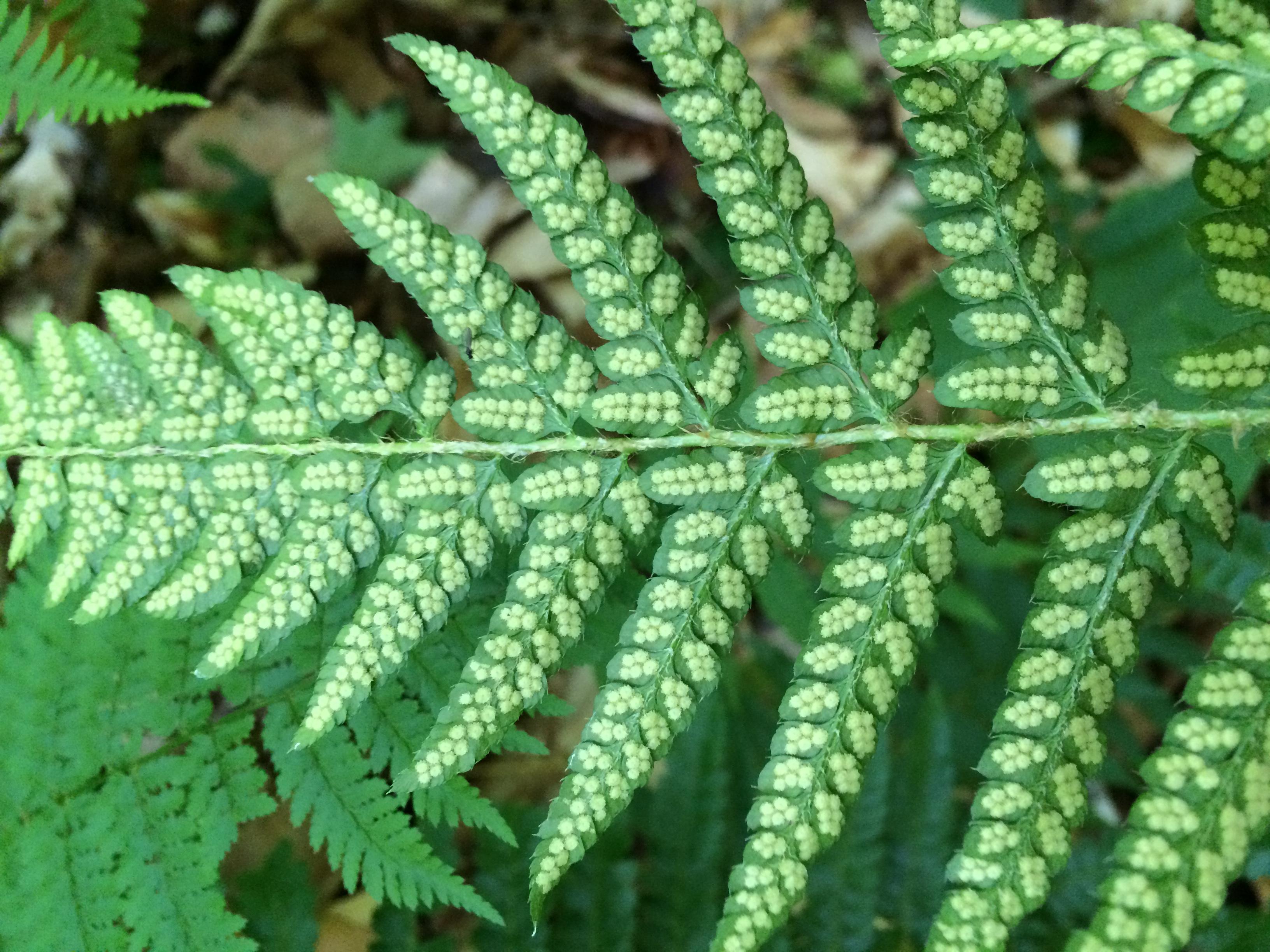 Polystichum × potteri