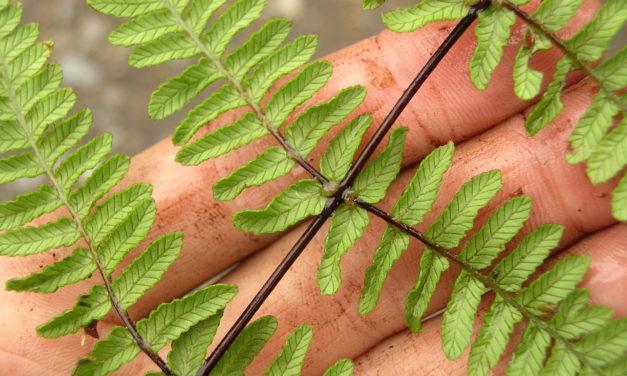 Thelypteris cf. arborea
