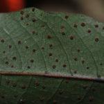Tectaria menyanthidis