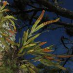Pleopeltis pleopeltifolia