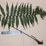 npsmith520_3874 (Ctenitis paranaensis)