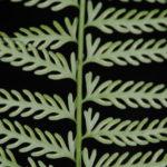 Asplenium thunbergii