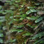 Ascogrammitis anfractuosa