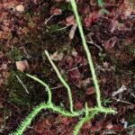 Lycopodiella appressa