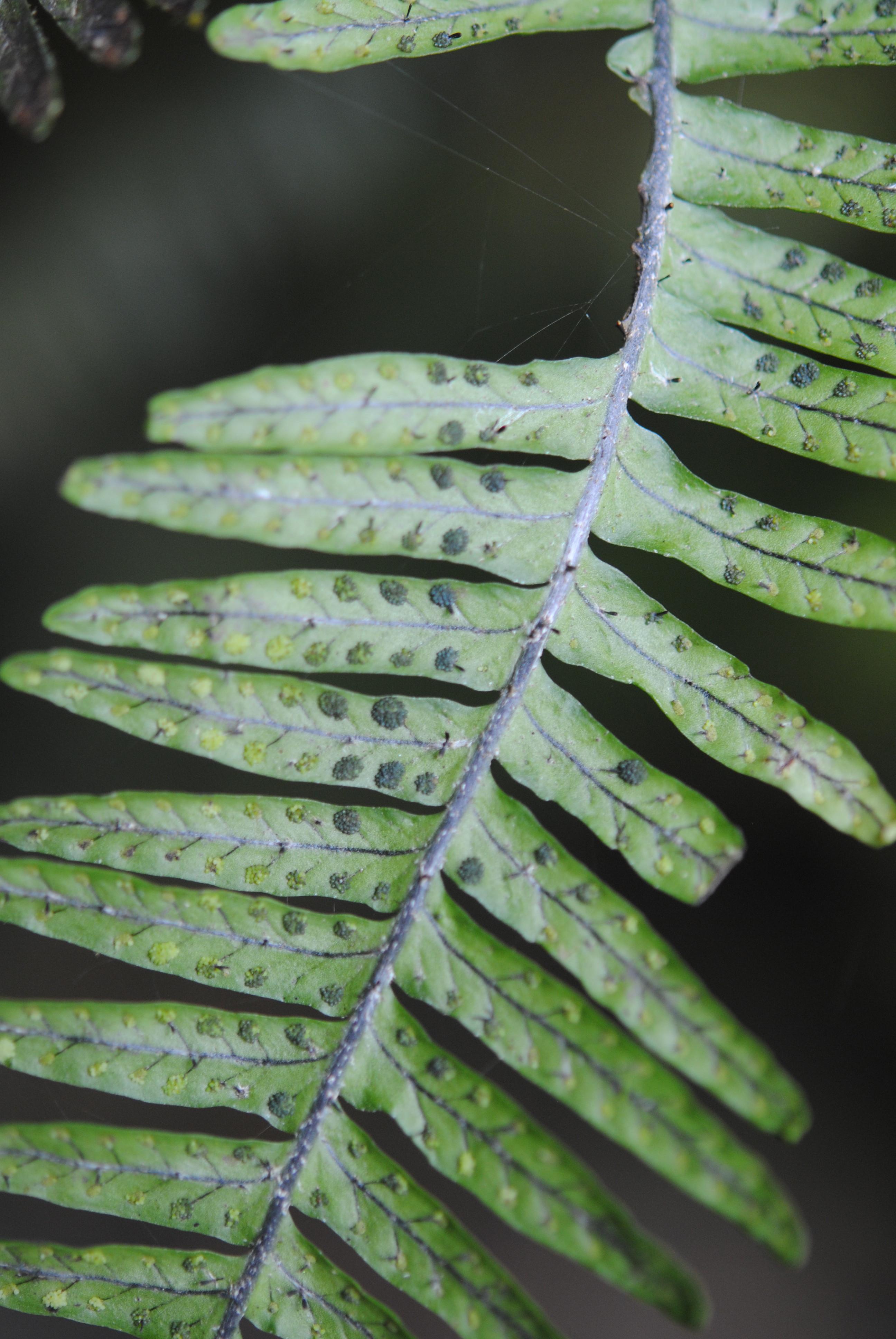 Mycopteris semihirsuta s.l.