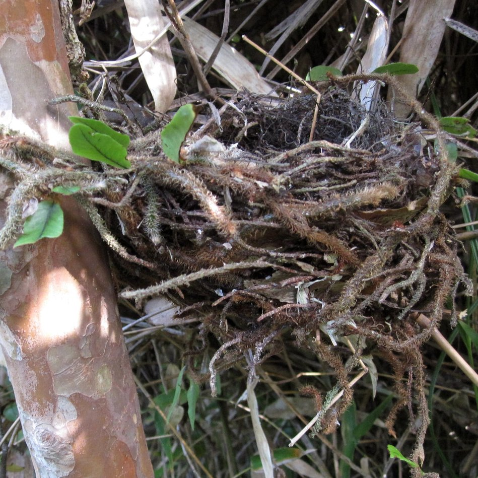 Nest made with Microgramma vacciniifolia