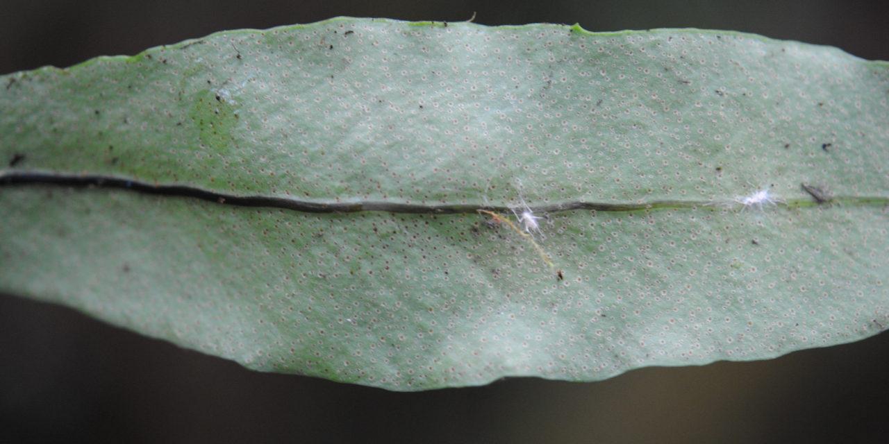 Pleopeltis interjecta