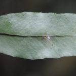 DSC_0863 (Pleopeltis interjecta)