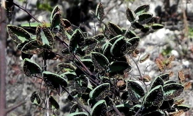 Argyrochosoma formosa