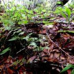 Cheilanthes pyramidalis RT17757