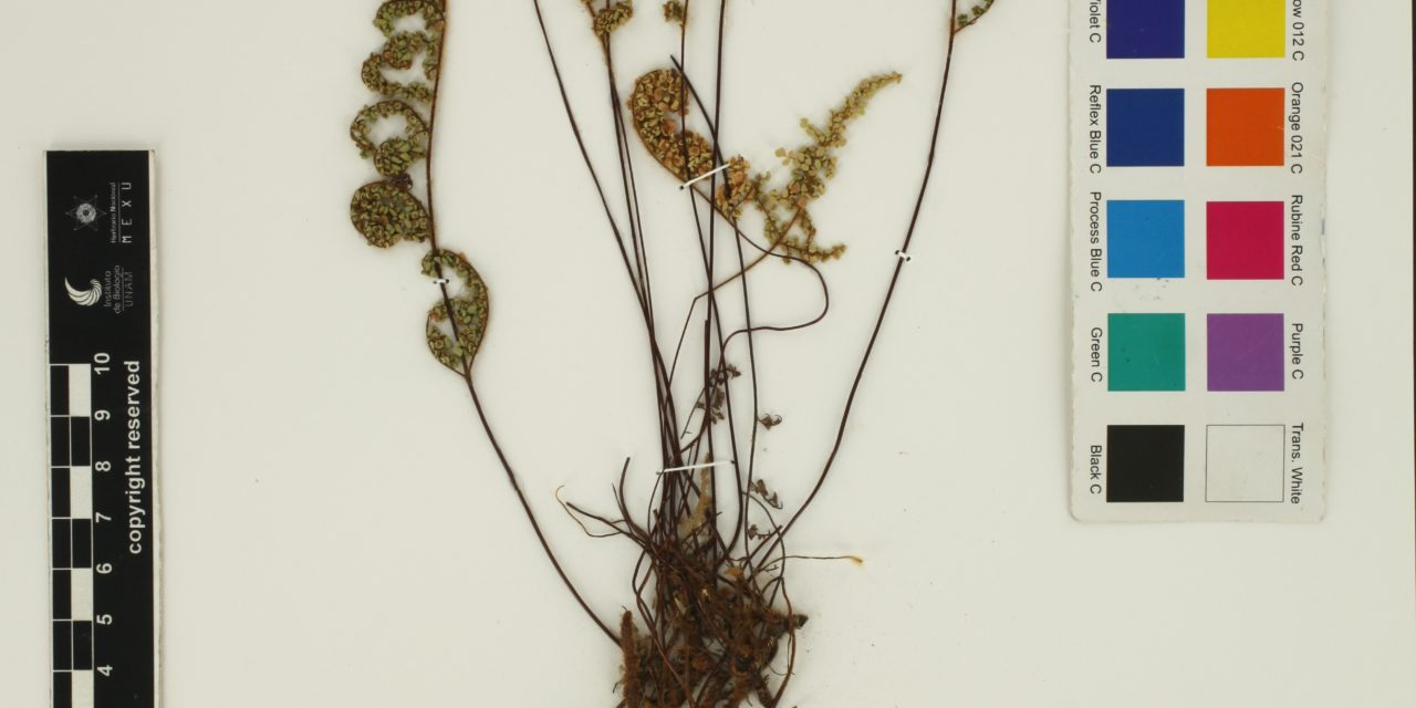 Cheilanthes lendigera