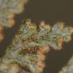 DSC_0402 (Hymenophyllum tegularis)