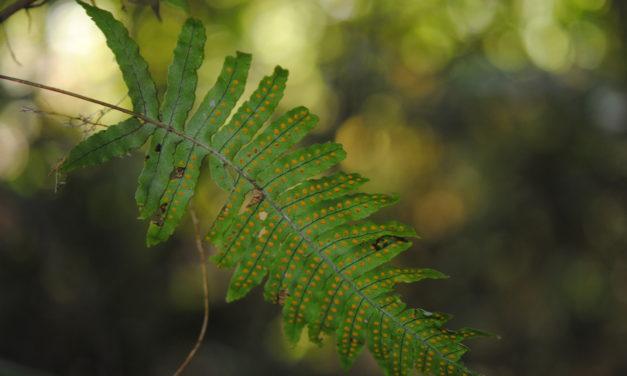 Polypodium plesiosorum