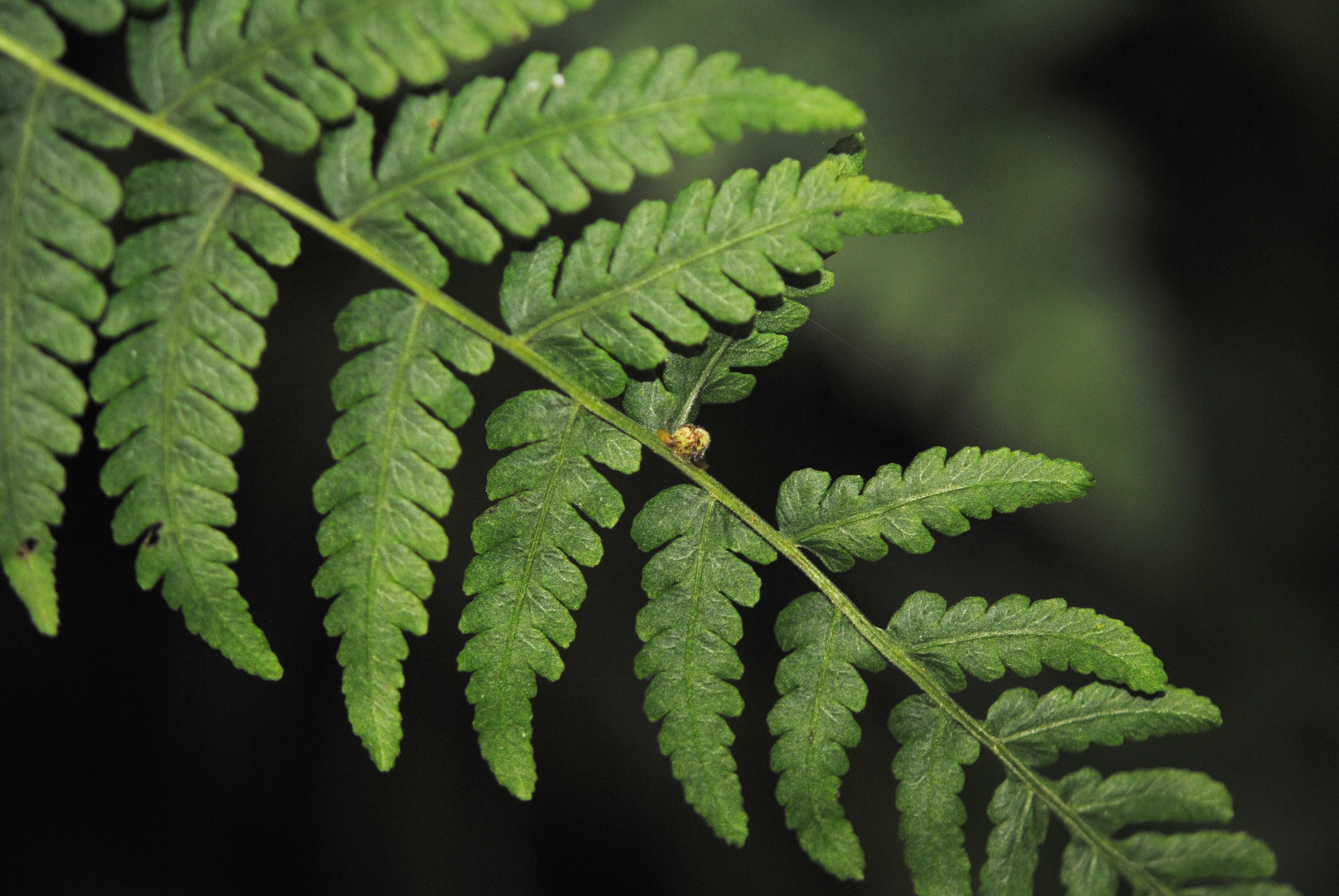 Amauropelta scalaris