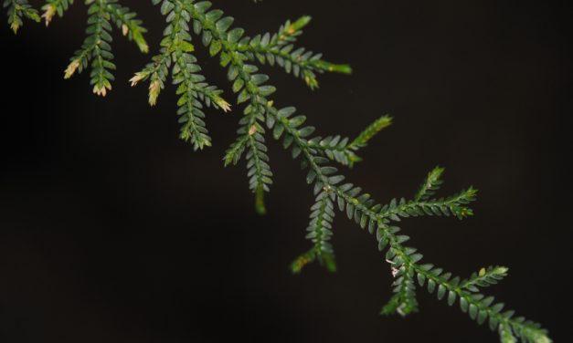 Selaginella flexuosa