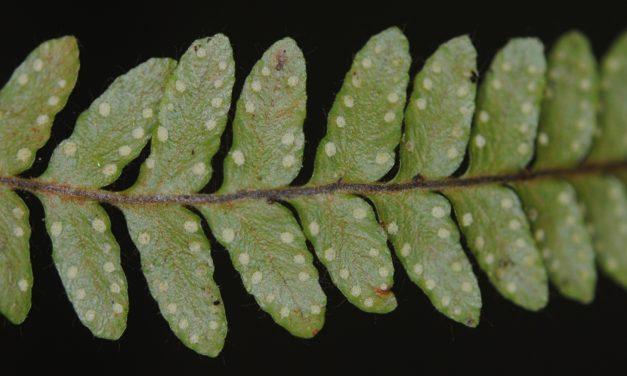 Ceradenia margaritata
